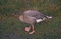 0129-Anser_brachyrhynchus
