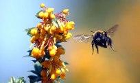 A bumblebee flying towards a berberis plant