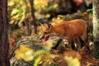 article-new-thumbnail_ehow_images_a08_4h_eb_set-snare-fox-trap-800x800
