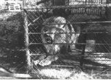 Lion enclosure at Broxbourne Zoo, Paradise WIldlife Park's predecessor